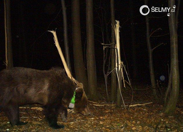 Fotografie sledované medvědice vPalkovických hůrkách, vpozadí poškozené lípy, jejichž lýkem se živila.