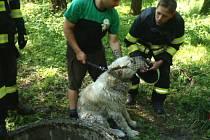 Výborně odvedenou práci předvedli hasiči v místní částí Frýdlantu nad Ostravicí Nové Vsi. V pátečních odpoledních hodinách byli kontaktování s prosbou o pomoc v případě, středoasijského pasteveckého psa, který uvízl v dva metry hluboké betonové studni.