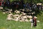 Ovečky přicházejí do areálu Dolek.