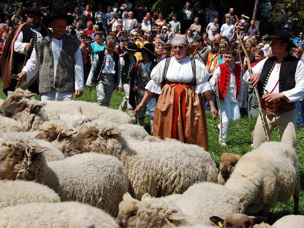 """Majitelka stáda Lenka Koždoň v kroji pomáhá """"zamíchat"""" ovce."""