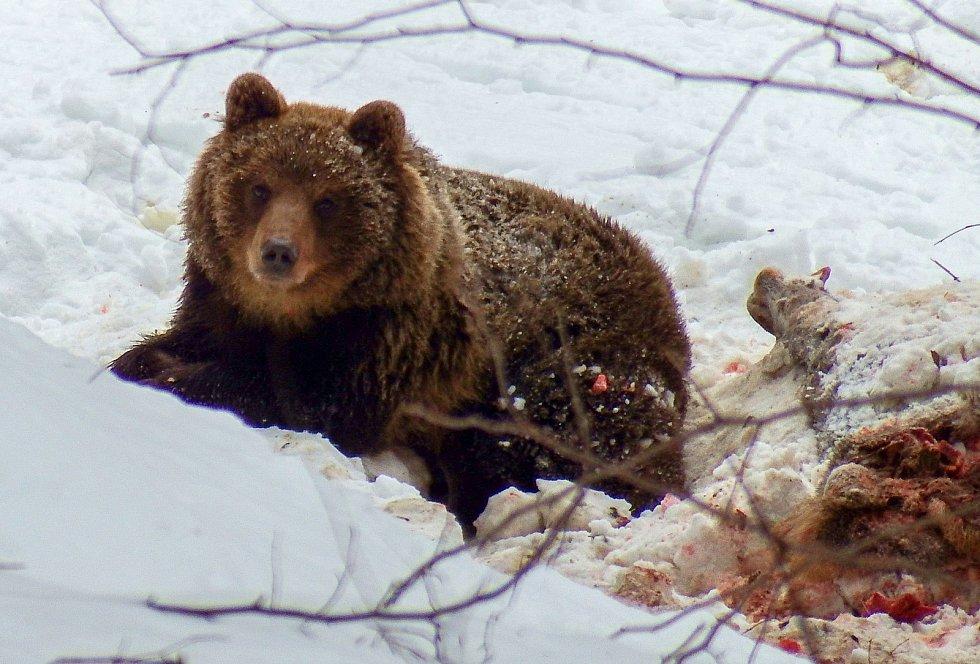 Ema pod Lysou horou, dnes je po ztrátě telemetrického obojku opět anonymním medvědem.