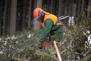 Těžba dřeva v Biskupských lesích pro stavbu kostela v Gutech