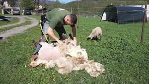 Reprezentant v alpském lyžování Michał Staszowski se vedle sportu a studia věnuje stříhání ovcí.