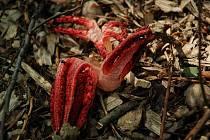 V těchto dnech pozornost návštěvníků Zoo Ostrava poutá nejen zajímavým vzhledem, ale rovněž intenzívním zápachem jeden druh u nás vzácné houby zvaný květnatec Archerův (Anthurus (Clathrus) archeri).