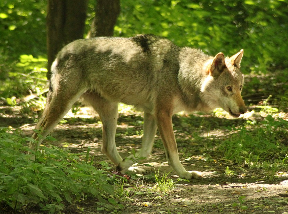 Velká trojka šelem, medvěd, vlk a rys k Lysé hoře taky patří.
