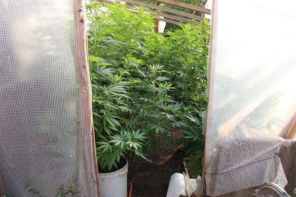 Policií zajištěné rostliny.