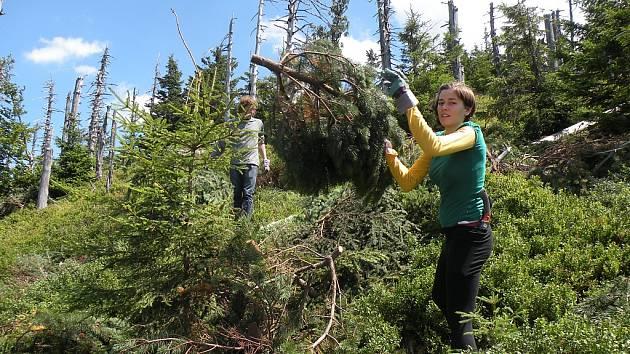 Dobrovolníci z Hnutí Brontosaurus odklízeli v minulých dnech v Beskydech větve borovice kleče a smrku pichlavého, aby na co největší ploše mohl opět vyrůstat přirozený beskydský les.