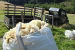 Na Opálené se stříhaly ovečky novozélandským stylem.