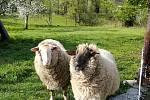 Téměř v centru obce Bystřice usmrtil v květnu v noci vlk jednu ovci. Další přežila.