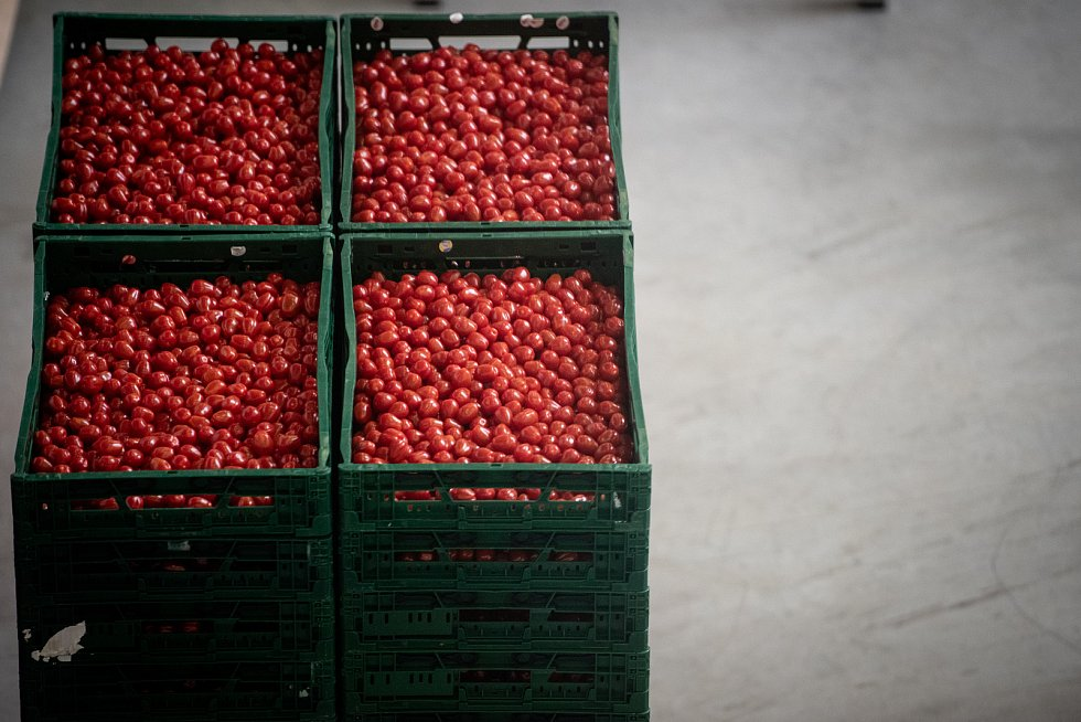 Sklizeň rajčat a okurek ve farmě Bezdínek v Dolní Lutyni.