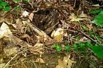 Houbový úlovek z lesoparku v Havířově-Podlesí, 27. května 2019