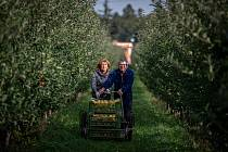Samosběr jablek v sadech Životice, 10. října 2020 v Havířově-Životicích.