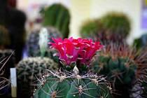 Výstavu kaktusů a sukulentů v Havířově nafotil Karel Šula.