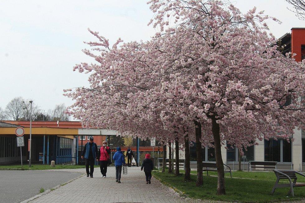 Rozkvetlé sakury u Regionální knihovny Karviná, duben 2021.