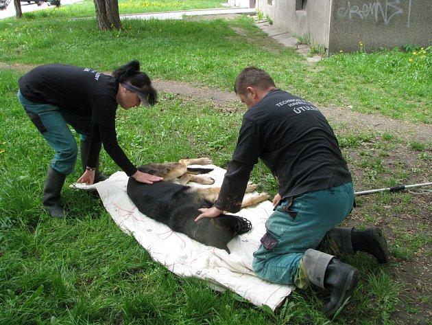 Německý ovčák se zranil pádem z okna. Odchytová služba ho odvezla k veterináři.