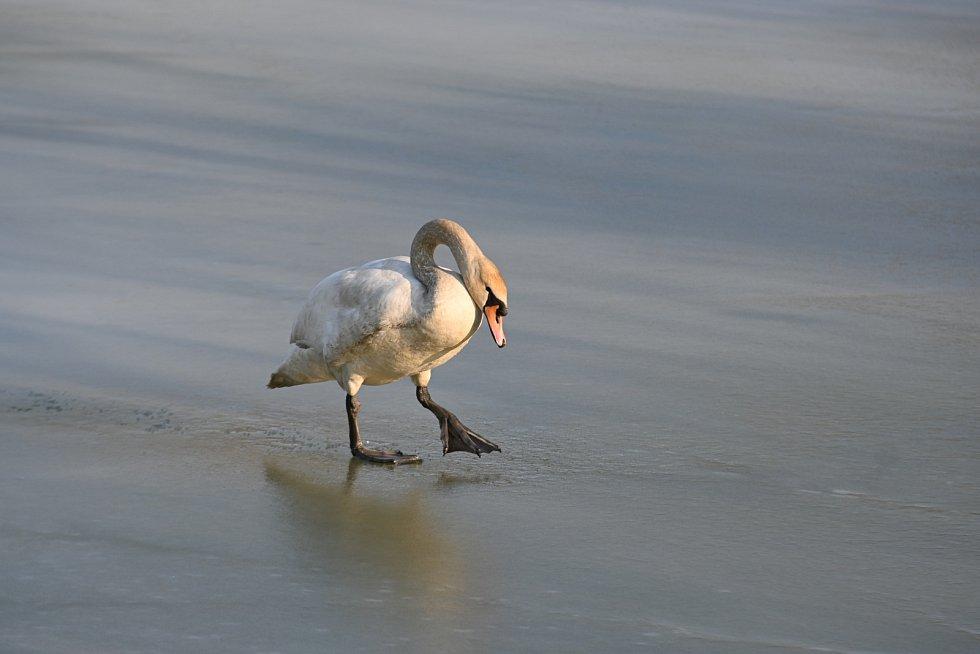 Labuť se prošla po zamrzlém rybníku.