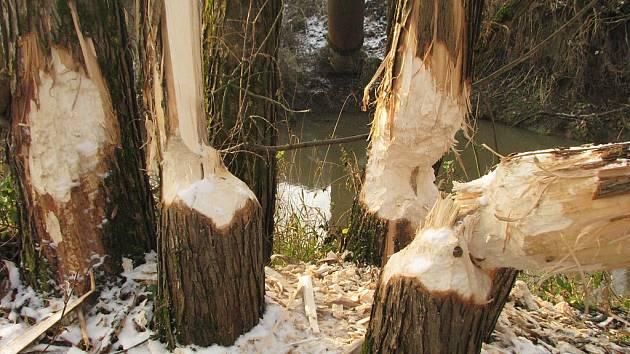 Stopy činnosti bobra u řeky Lučiny v Havířově.