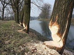 Ve Věřňovicích na břehu Olše ohryzali bobři několik stromů.