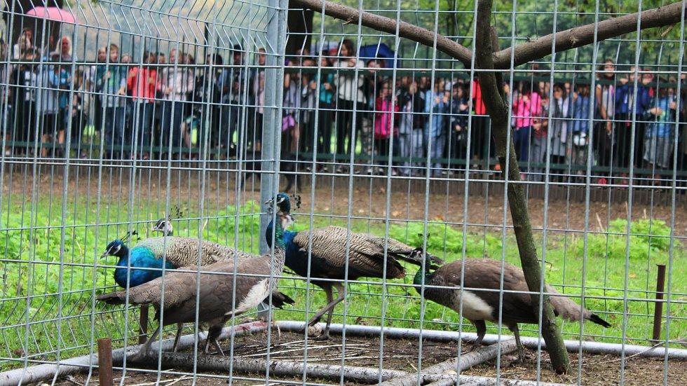 Karvinští pávi vyšli po několika týdnech z aklimatizační voliéry do volných prostor místního zoo koutku.