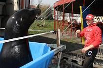 Hvězdami programu Cirkusu Humberto jsou i cvičení lachtani.