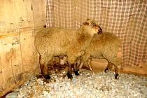 Zaběhnuté ovce.