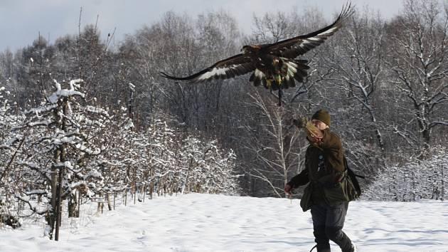 V lovu pomáhali havířovským myslivcům sokolníci.