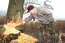 """Karvinský rybář Leopold Borkala ukazuje jeden ze stromů v Karviné-Dolech, na kterém jsou viditelné stopy """"práce"""" tamní bobří rodiny."""