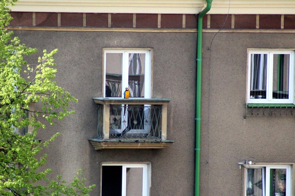 V Havířově v květnu odchytávali papouška, který na chvíli uletěl chovateli.