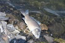 Mrtvé ryby z jezera Kozinec v Doubravě na Karvinsku.