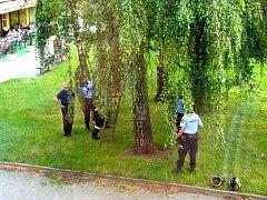 Záchrana leguána z koruny stromu.