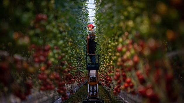 Sklizeň rajčat ve farmě Bezdínek, 14. ledna 2021 v Dolní Lutyni.