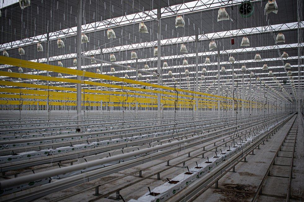 Zaměstnanci farmy Bezdínek v Dolní Lutyni vysázejí za směnu tisíce rostlinek oválných cherry rajčátek druhu Hranáček.