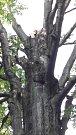 Památný dub v Černém lese přišel při silném větru o část větví, navíc se zjistilo, že je napaden dřevokaznou houbou.