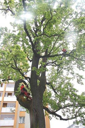Strom vpéči zkušených arboretistů pod vedením Lukáše Olivy.