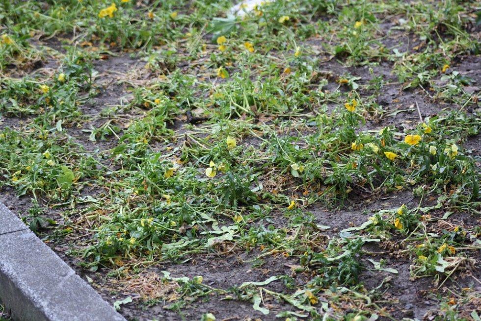 Kroupy poškodily květinovou výzdobu.