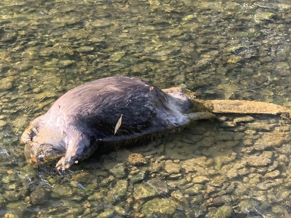 Čtenář Deníku nalezl v korytě řeky Olše v Karviné uhynulého bobra.