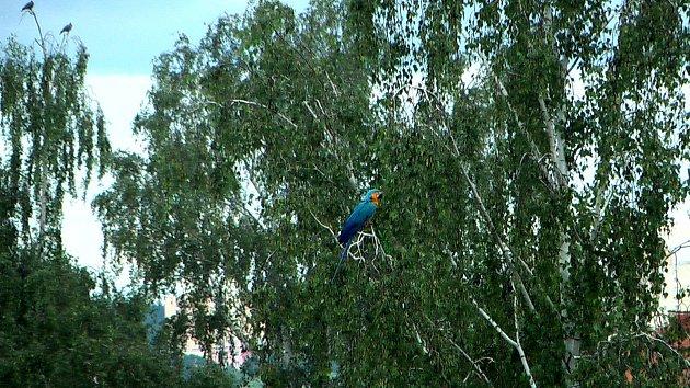 Chovateli uletěl papoušek