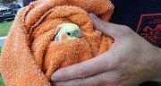 Když se loví korela, hodí se někdy i obyčejný ručník. Ten ptáčka dokáže zklidnit.