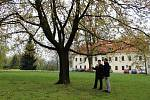 Město Havířov přihlásí do národní soutěže Strom roku javor v zámeckém parku, který se podařilo zachránit speciální svazovací technikou.