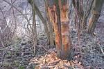 Ohryzaný kmen stromu.
