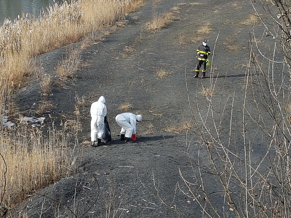 Nález uhynulých labutí v Karviné, únor 2021.