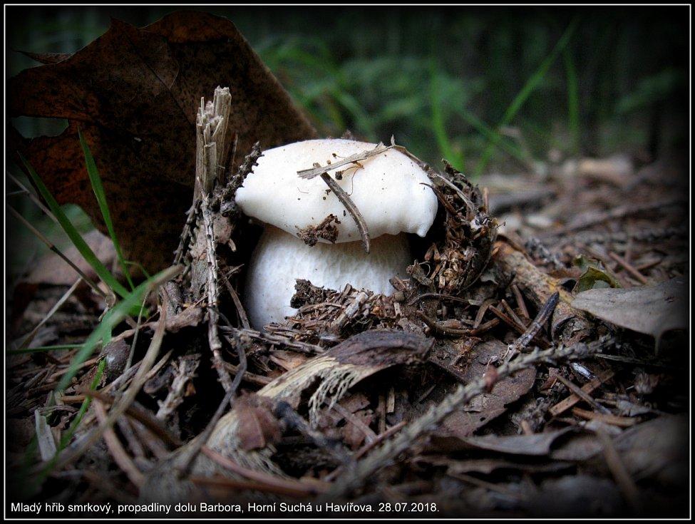 Pár záběrů hříbků z Karvinského lesa z pomezí Havířova a Karviné, plné košíky to sice nejsou, ale stejně potěší.:-)