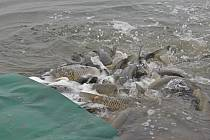 Rybáři vypustili do Kališova jezera v Bohumíně přes tisíc amurů. Ti mají požírat přerostlé vodní traviny.