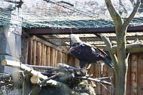 Město Orlová zasponzorovalo chov orla v ostravské Zoo.
