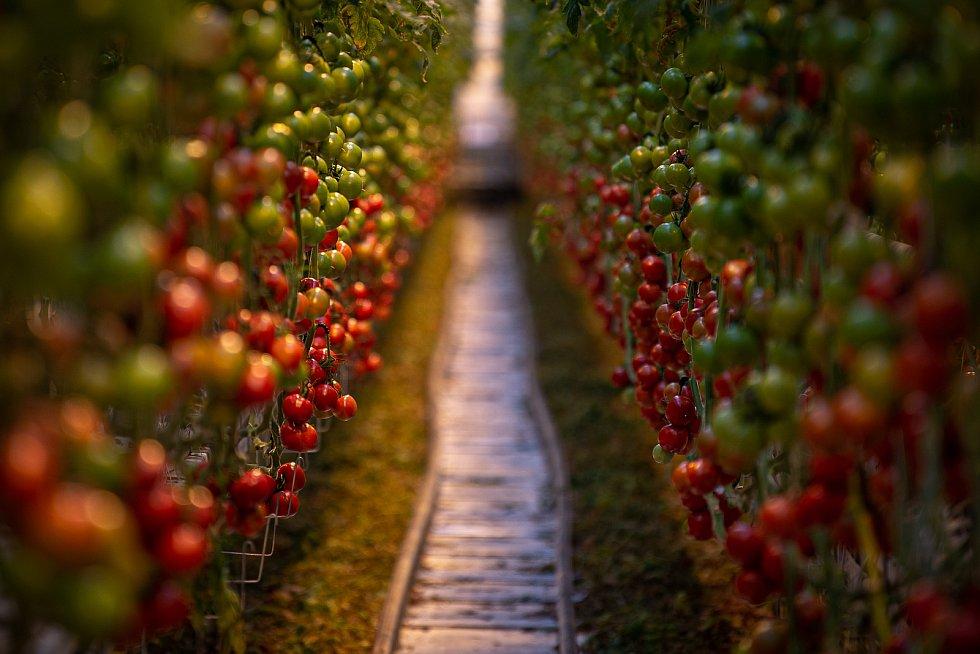 Sklizeň rajčat ve farmě Bezdínek v Dolní Lutyni.
