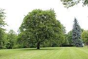 Javor platanolistý rostoucí v havířovském zámeckém parku se stal Stromem hrdinou roku 2017.