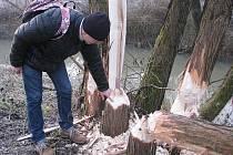 Jan Smola z havířovského magistrátu ukazuje, jak se bobři u řeky Lučiny činí.