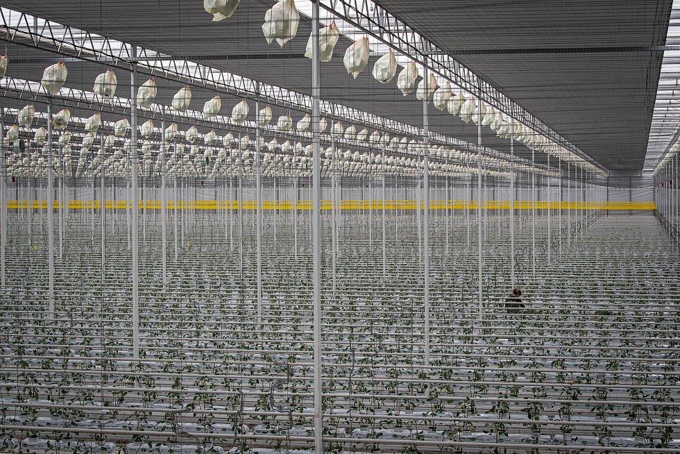 Zaměstnanci farmy Bezdínek vysázejí za směnu tisíce rostlinek oválných cherry rajčátek druhu Hranáček, 14. ledna 2021 v Dolní Lutyni.