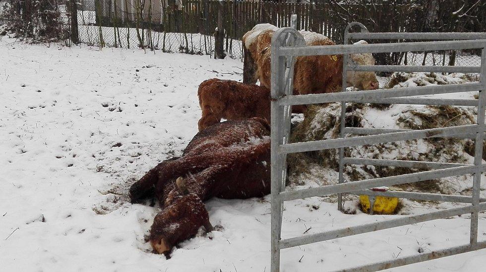 Veterináři prověřili chov skotu v Karviné. Jedna nemocná kráva ležela bezmocně na zemi.