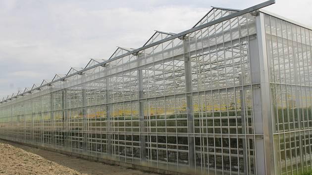 Hydroponní pěstování rajčat v obřích sklenících. Snímek je ze skleníků ve Velkých Němčicích.